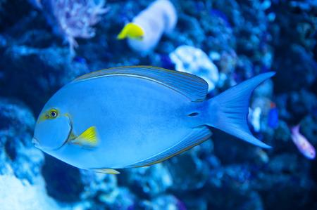 actinopterygii: Yellowfin Surgeon Fish Stock Photo