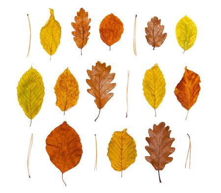 hojas secas: hojas de otoño