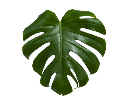 Fresh monstera leaf isolated on white background Reklamní fotografie