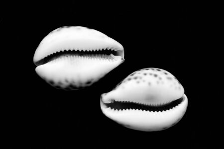 Two decorative shells in black and white isolated on black background