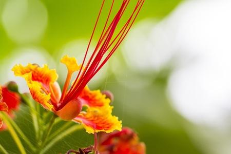 pulcherrima: Caesalpinia pulcherrima Linn Swartz Caesalpiniaceae