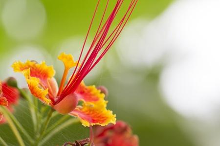 caesalpinia pulcherrima Linn Swartz; Stock Photo