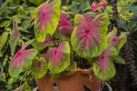 bicolor: Caladium bicolour tree in brown flower pot Stock Photo