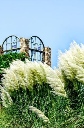 pampas: pampas grass and a garden