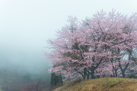 Cherry blossoms in the fog. 版權商用圖片