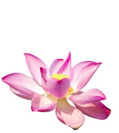 Lotus isolated on white background Stock Photo - 4732589