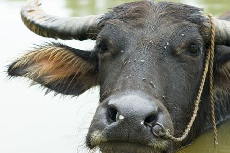 caput: The water buffalo in the water .  Stock Photo