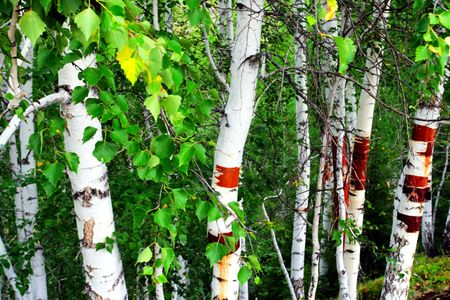 The silver birch of sinkiang china