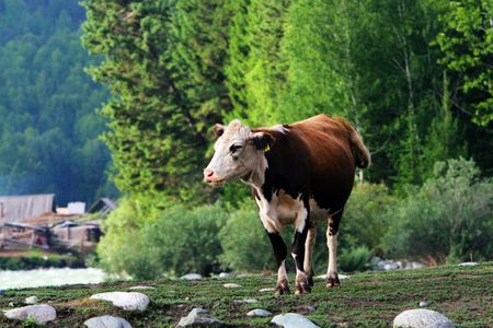 natation: La vaca en el prado de Sinkiang China