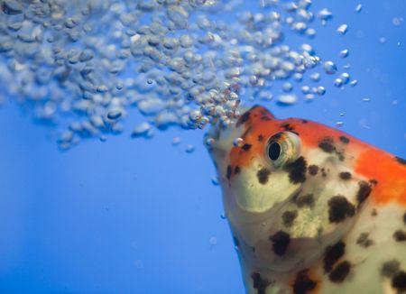 air bladder: il pesce con le bolle d'aria.