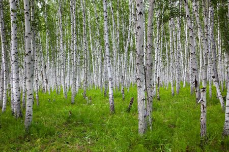 the birch of a forest. photo