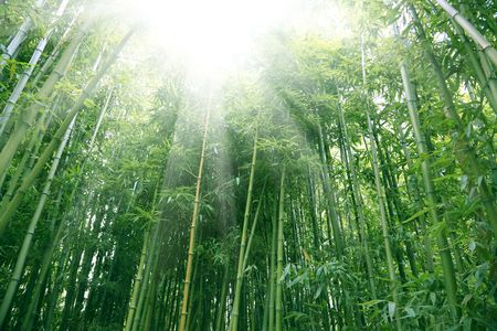 the bamboo of a forest outdoor in china. photo
