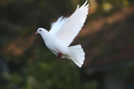 white dove: dove fly in the air wiht forest background.outdoor. Stock Photo