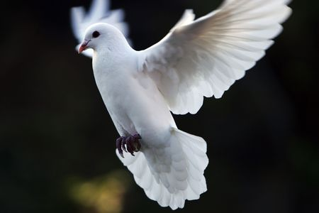 doves: dove fly in the air wiht forest background.outdoor. Stock Photo