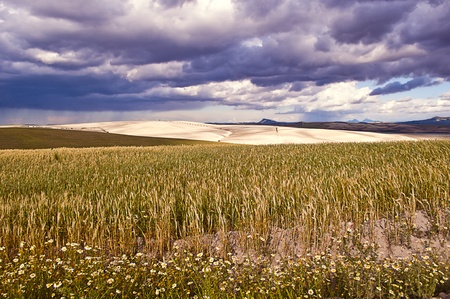 rural landscape with wheat field and cloudy sky photo