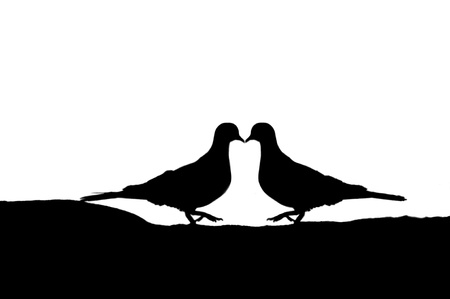two pigeons kissing on a white backgound photo