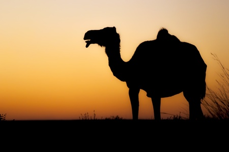 Silhouette of a wild camel at sunset in western sahara photo