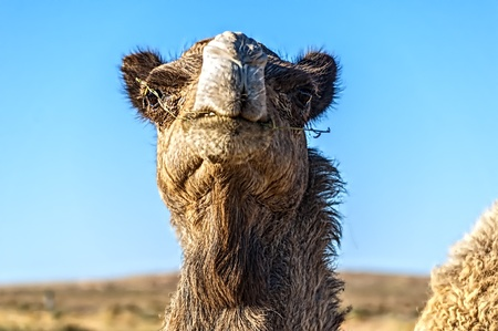 camel in western sahara photo