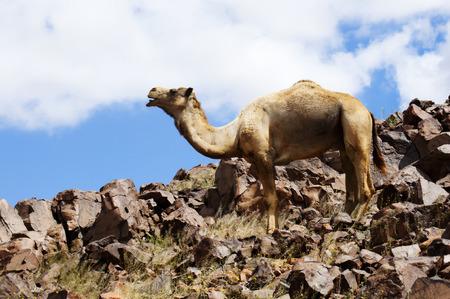 vadi: desrt landscape with camel in weatern sahara