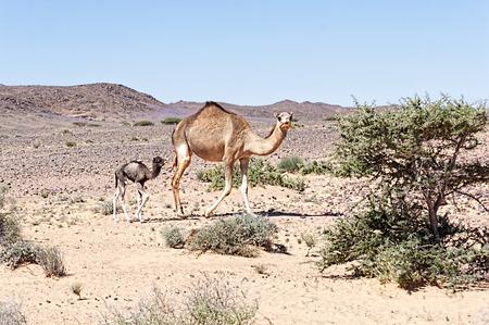 judean hills: desert landscape with camel in western sahara