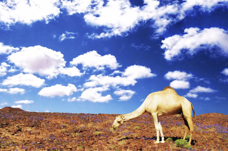 judean hills: desrt landscape with camel in western sahara Stock Photo