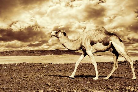 vadi: desrt landscape with camel in western sahara Stock Photo