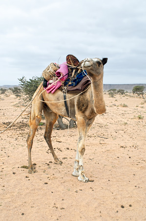 bedouin: Bedouin camel in western sahara Stock Photo