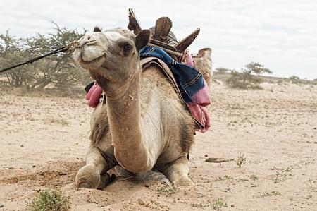 Bedouin camel in western sahara Stock Photo