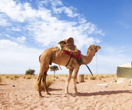 camel in western sahara desert Banque d'images