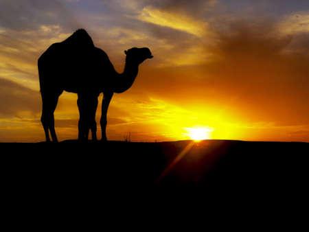 camel dromedary in western sahara