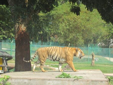 sumatran tiger: La tigre di Sumatra passeggiando