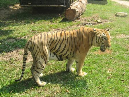 sumatran: Sumatran Tiger strolling