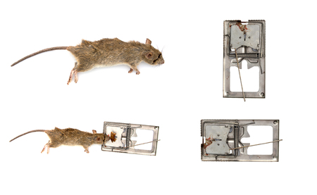 Steel mouse trap  with rat on isolate white background
