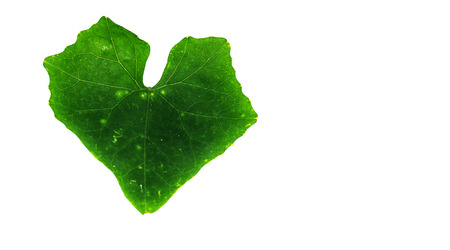 Cocconia leaves on isolated white background with clipping path