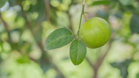 Green lemon on the tree on selective focus