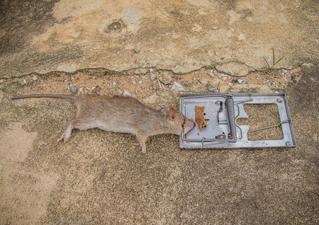 Steel mouse trap  with rat on old concrete floor (rat are carrier of pathogen)