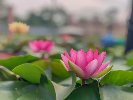 Auf selektivem Weichzeichner der rosa Lotusblume in voller Blüte im Pool, die Vorderseite des Hauses.