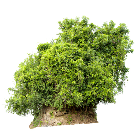 Isolate pictures of green tree. Large perennial on white background. Stock Photo