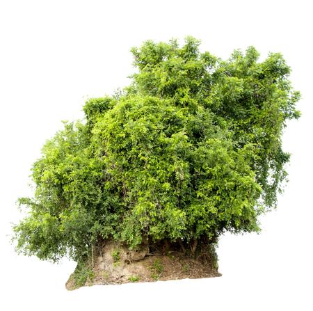 Isolieren Sie Bilder des grünen Baums. Große Staude auf weißem Hintergrund. Standard-Bild