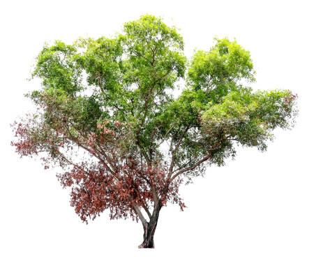 Isolate pictures of green tree. Large perennial on white background. tree dicut at isolated