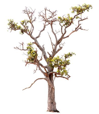 Isolieren Sie Bilder des grünen Baums. Große Staude auf weißem Hintergrund. Baum dicut bei isoliert. Verwenden Sie zum Erstellen der begleitenden gedruckten Materialien und der Website. Wird für den Unterricht in Pflanzenbiologie verwendet. Ein schöner Baum aus Thailand.