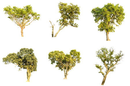 Isolate pictures of a green tree. Large perennial on white background. Tree cut at isolated. Beautiful green trees in Thailand. Used for teaching the biology of plants.