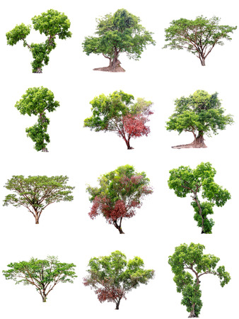 Collection of isolate pictures of green tree. Large perennial on white background. tree dicut at isolated. Beautiful green trees in Thailand Used for teaching biology of plants.
