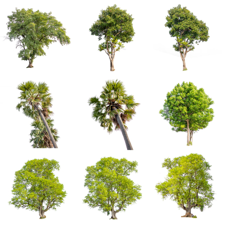 Colección de imágenes de aislar de árbol verde. Planta perenne grande sobre fondo blanco. dicut del árbol en aislado. Hermosos árboles verdes en Tailandia Se utilizan para enseñar biología de plantas.