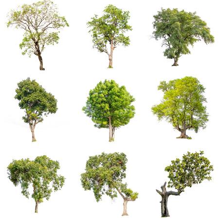 Raccolta di immagini isolate di albero verde. Grande perenne su sfondo bianco. albero dicut a isolato. Bellissimi alberi verdi in Thailandia Utilizzati per l'insegnamento della biologia delle piante.