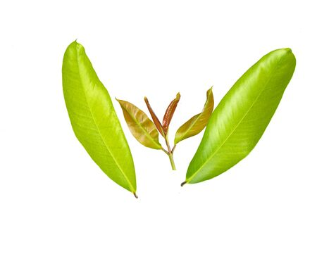 Garcinia leaf. Used in cooking and as a herb in the treatment of many diseases.
