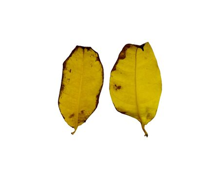 Green Kankrao leaves and Yellow Kankrao leaves on isolated white background. Stock Photo
