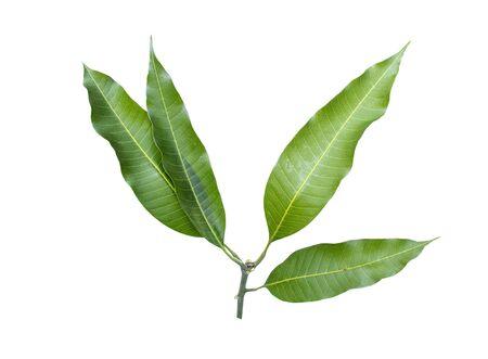 Mango leave on isolate white background. dicut. Stock Photo