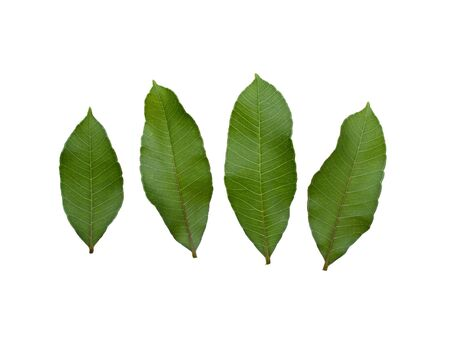 Olive leaf, fresh green vegetables and cooking, Thailand. On isolated white background. dicut