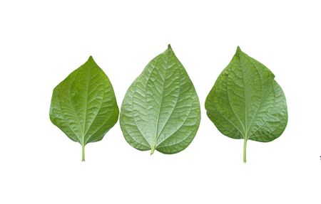 Chaplo , Herb of Thailand and the cooking. Green leaf on isolated white background. dicut Stock Photo